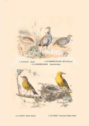 Quail, Red Partridge, Grey Partridge, Wood Thrush, Eurasian Golden Oriole